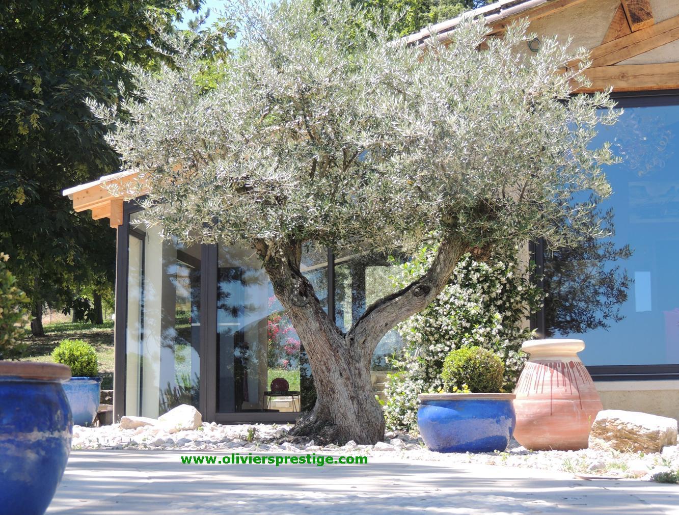 Oliviers prestige vente oliviers grand choix toutes formes for Jardin taille olivier