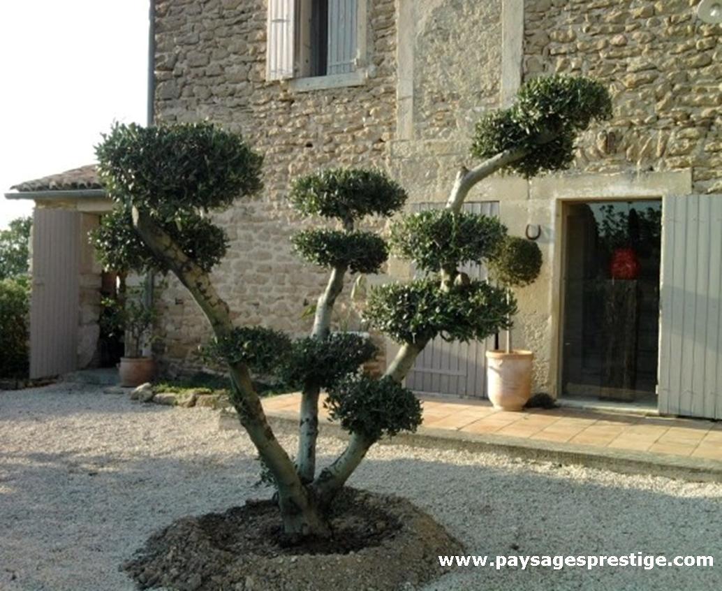 Les oliviers pompons dOliviers Prestige apporteront originalité et ...