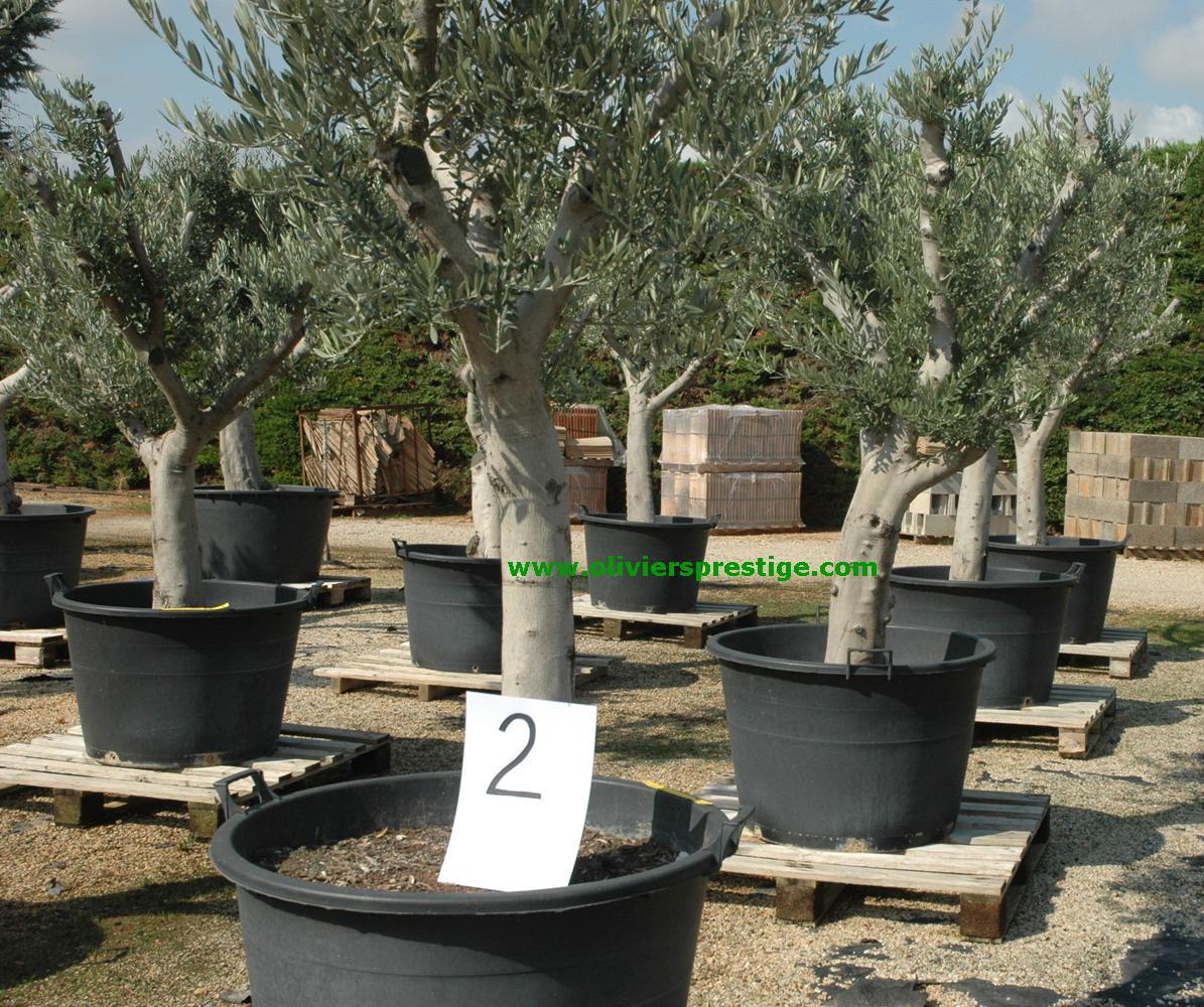 oliviers prestige vente oliviers grand choix toutes formes. Black Bedroom Furniture Sets. Home Design Ideas